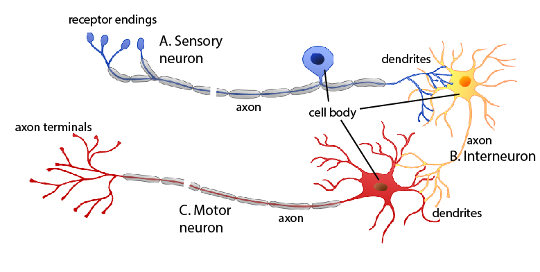 Biochemical basis amyotrophic lateral sclerosis figure 3 a depiction of the spatial relationships of the three types of neurons ccuart Choice Image