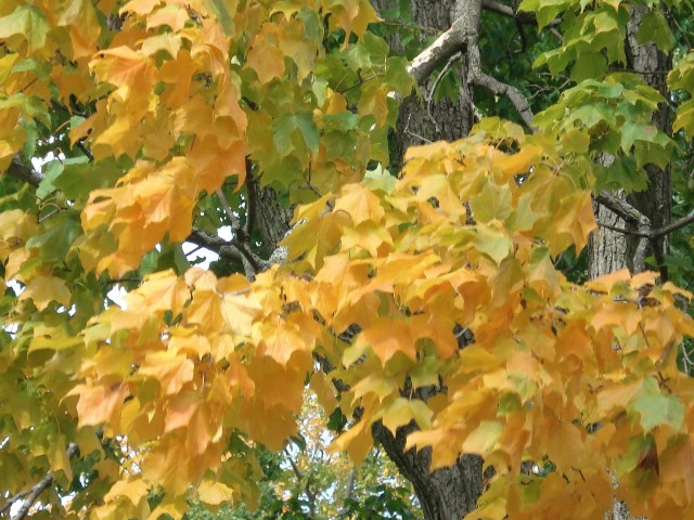Black Maple Fall Foliage Color
