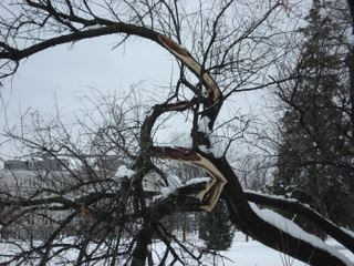 Damage on the Russian Olive