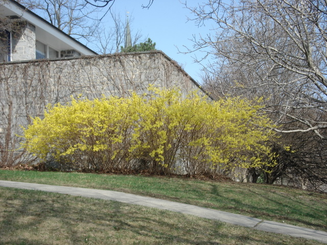 Forsythia by Stewart Hall