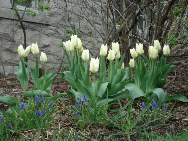 Early Tulips and Grape Hyacinth by Pearsons