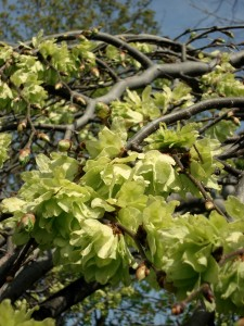 Camperdown Elm-Flowers