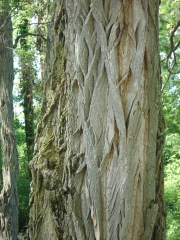 Black Locust Bark