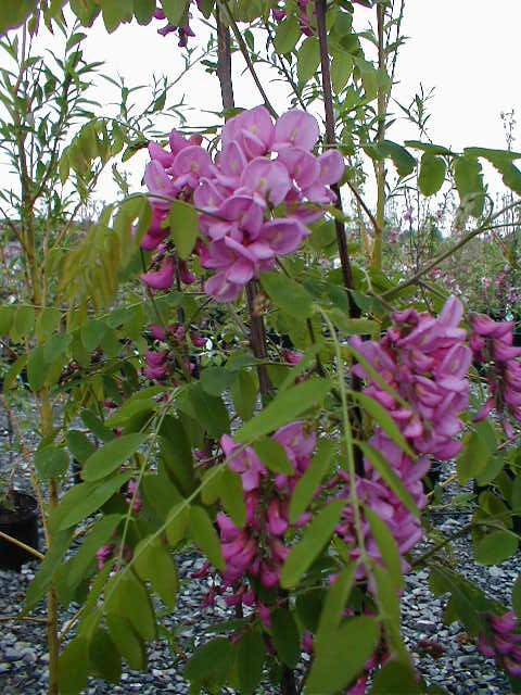 Purple Robe Locust Flowers