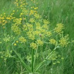 Poison Parsnip Flower-with bonus Pollinator!