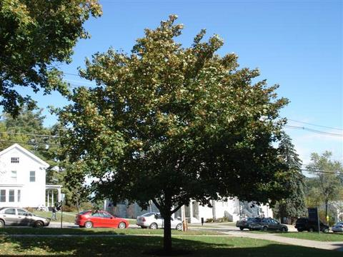 Norway Maple-typical size and shape