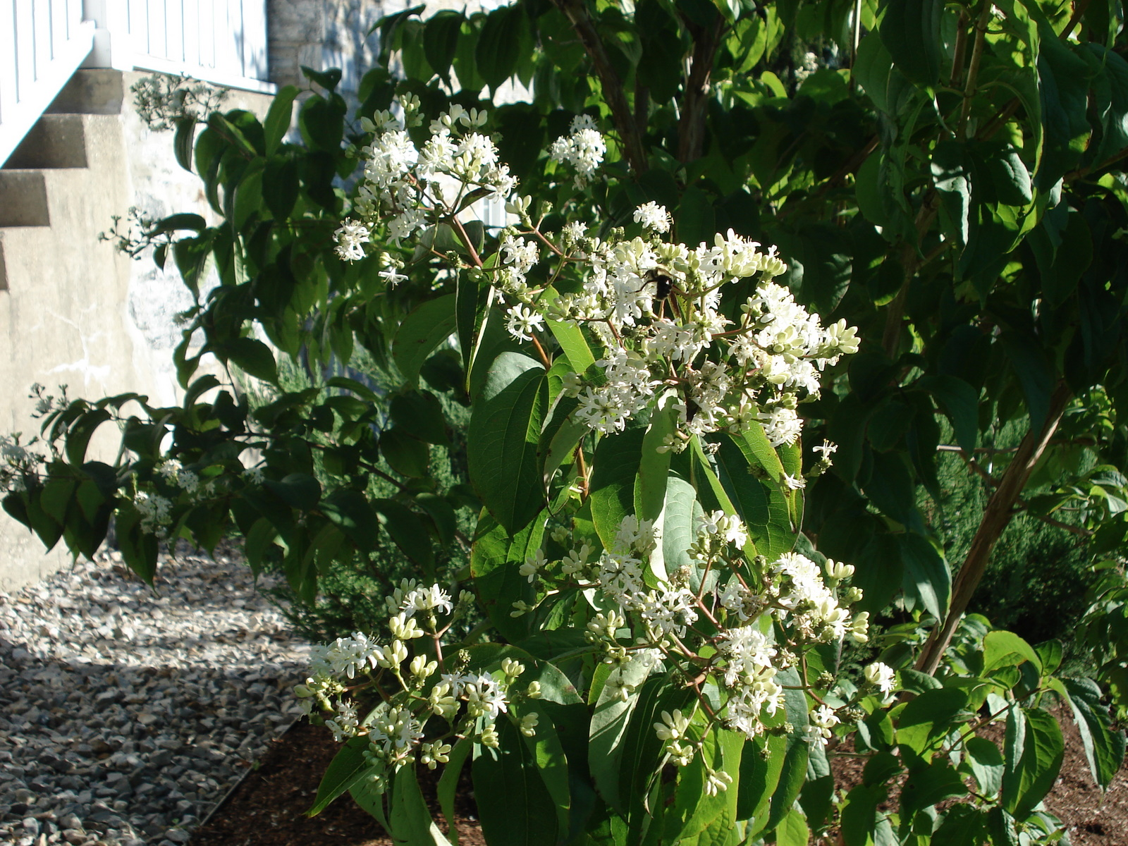 Heptacodium-flowers