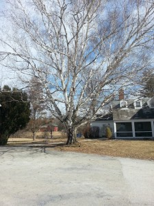 Paper Birch at the McKinley House
