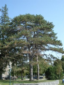 Austrian Pines at Adirondack House