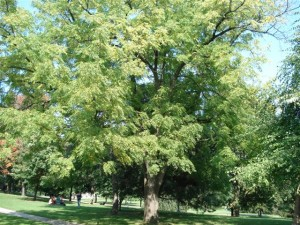 Black Walnut at Hepburn