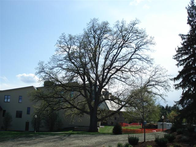 Bur Oak at the Mahaney Center for the Arts