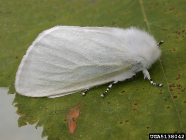 Satin Moth-moth phase. Photo courtesy Perry Hampson, Bugwood.org