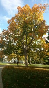 Black Maple turning for fall by Old Chapel