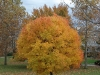 Green Mountain Sugar Maple