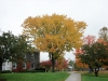 American Elm-Fall color
