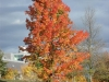 Sugar Maple by Battell