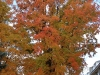 Another Sugar Maple