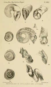 356px-Plate_XIII_A,_Morphology_of_Guillainia_and_Lithidion