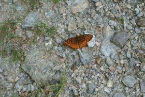 Trail Butterfly